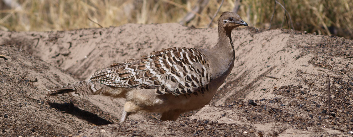 Malleefowl Preservation